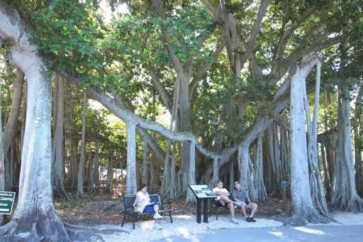Banyan tree (only a portion as the whole tree is too large to fit in a single photo)