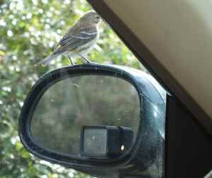 The yellow rumped warbler flew over and over to land on the rear view mirror of our car and then...