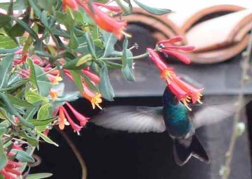 Broad billed hummingbird at Casa San Pedro, AZ