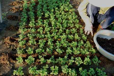 The farmers used the seaweeds from the nearby river as fertilizer that they bury in the ground before plantings.  They also use a mixture of peanut shells and animal manure between the rows of herbs and vegetable.
