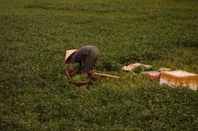 Farmer harvesting morning glory