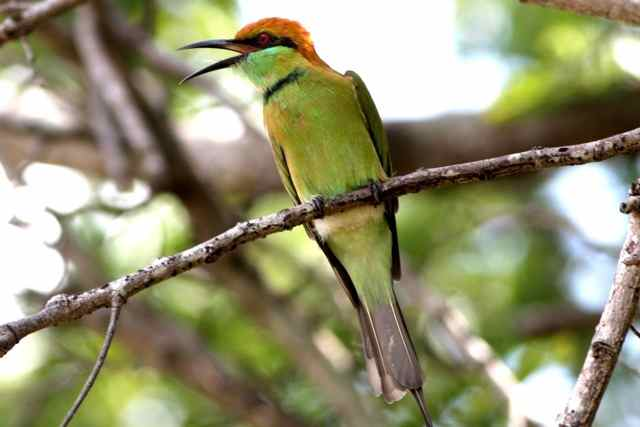 Steven's photo of our favorite bird of the day, the green bee-eater