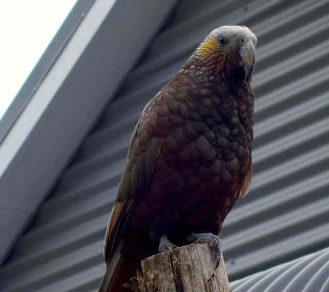 Kaka - endemic NZ bird