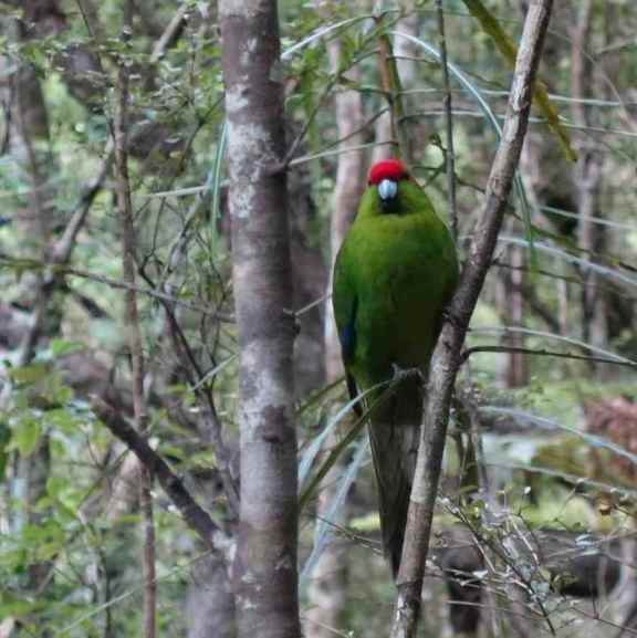 Ulva Island - red-crowned parkakeet