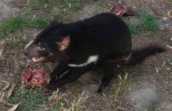 Tasmanian Devil with wallaby meat