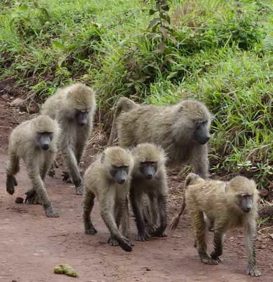 Baboons on the move