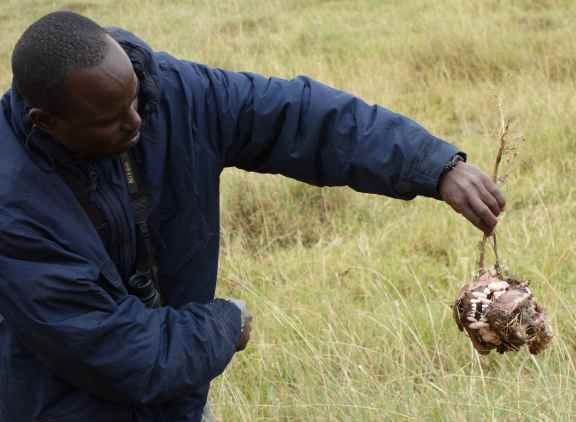 Chigamba w lion skull snatched from a hyena