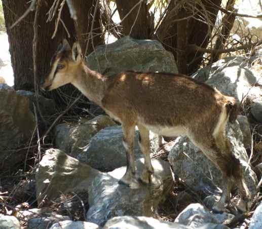 Cretan goats, a rare and endemic animal