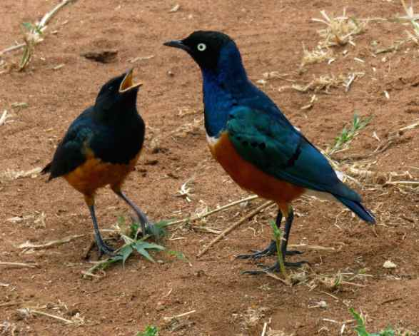 Superb starling and hungry juvenile