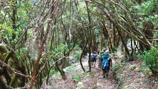 We descended for enough down to be entering the forest of bay laurel Larus novocanariensis