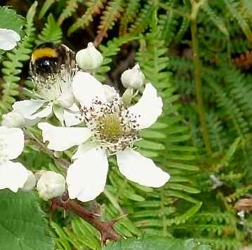 Madeira bumblebee on berry blossoms
