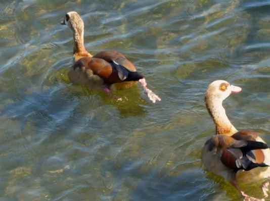 The last time we saw an Egyptian goose was in Tanzania.