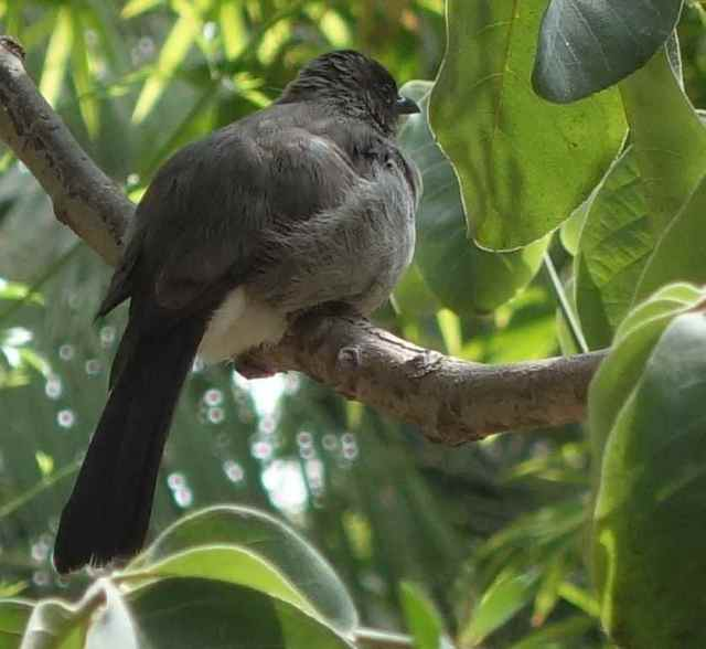 Birds flittered about the garden, chattering and calling. We think this is a common bulbul.