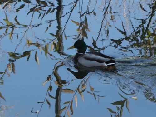 The mallard floated along through the most interesting reflected patterns.