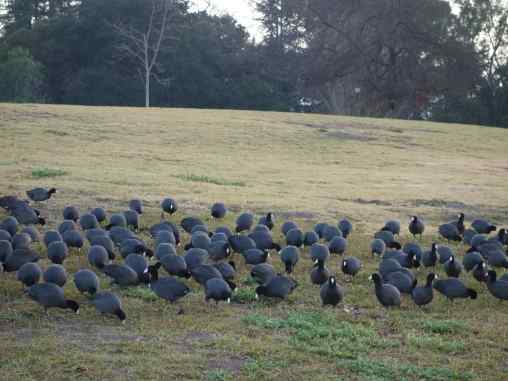 """We'd never seen so many American coots on a lawn—a """"cover of coots"""" is the right term."""