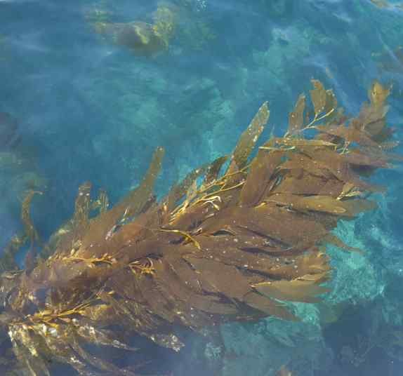 Long streams of seaweed drifted in the water at the Scorpion Anchorage.