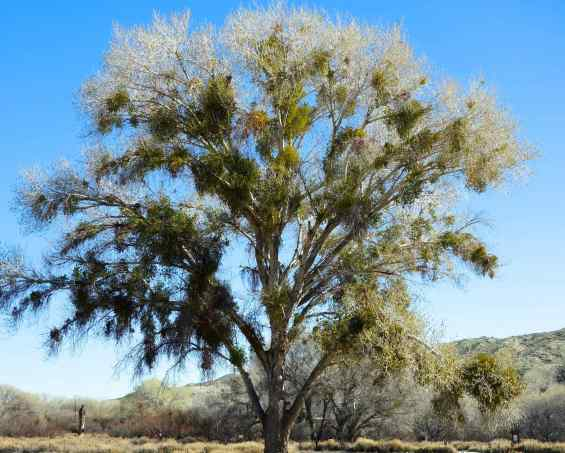 The healthy green on the tree is mistletoe, a parasite that grows on the tree and can eventually kill it. How does it get on the tree? After Phainopepla birds feast on mistletoe berries, their droppings can seed and eventually sprout on tree branches.