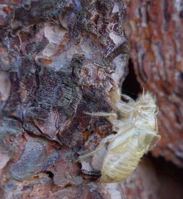 Contrast of dark and light…of an insect exoskeleton on a tree, taken on a stroll through our Palm Springs neighborhood.