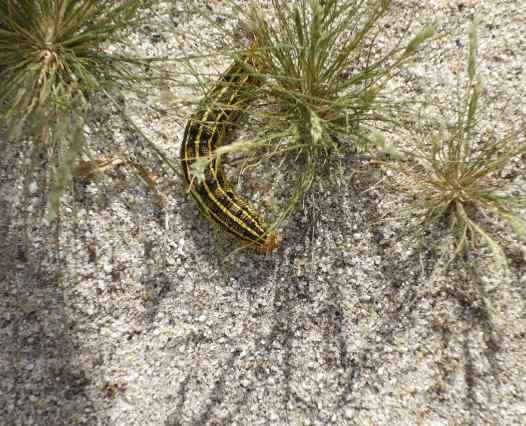 White-lined sphinx caterpillars make a tasty meal for Swainson's hawks.