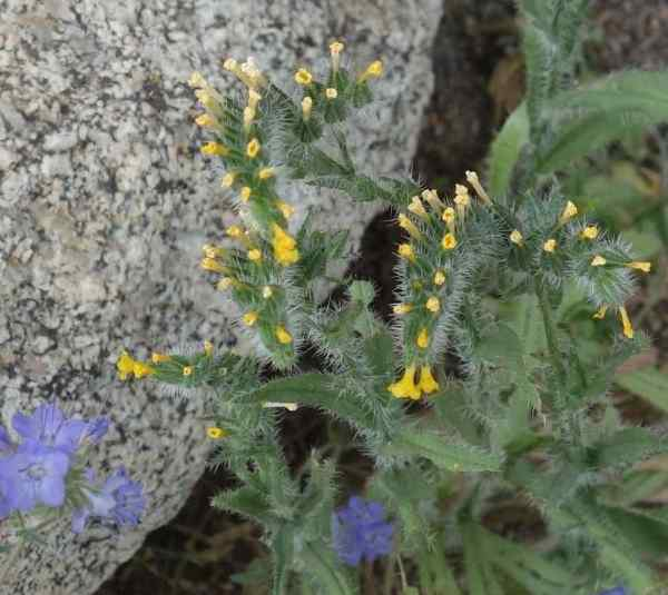 Checker fiddleneck and wild heliotrope