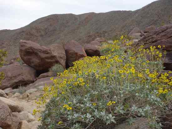 Brittlebush, a member of the sunflower family, bloomed as if in a planned landscape with the rocks and mountain.