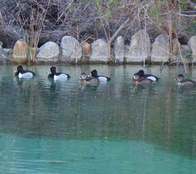 Repeating patterns….of rocks and ring-necked ducks lined up in horizontal lines, taken on a walk at Whitewater Preserve.