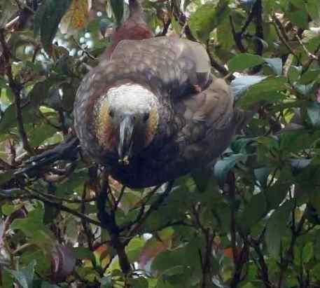 Kaka, photo taken in New Zealand