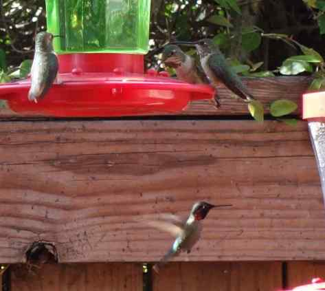 Three female Anna's hummingbirds on one feeder and a male flying in to another.