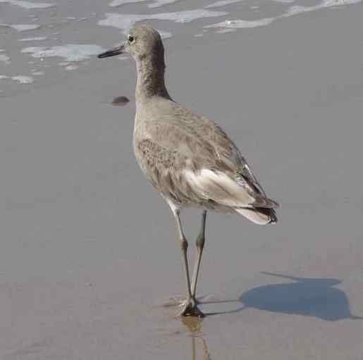 The willet was as cautious as we in committing to dipping into the cold ocean water.