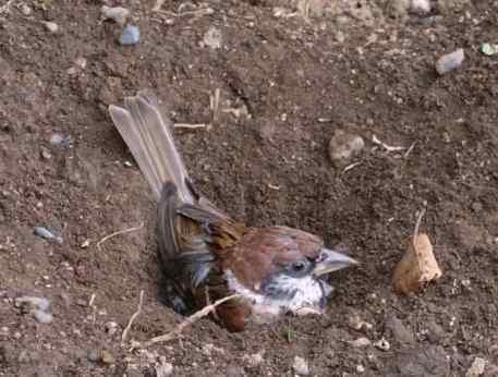 Eurasian tree sparrow, photo taken in Japan