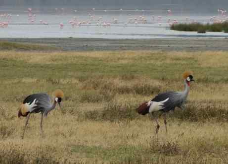 Great-crested cranes (with flamingoes in the background), photo taken in Tanzania