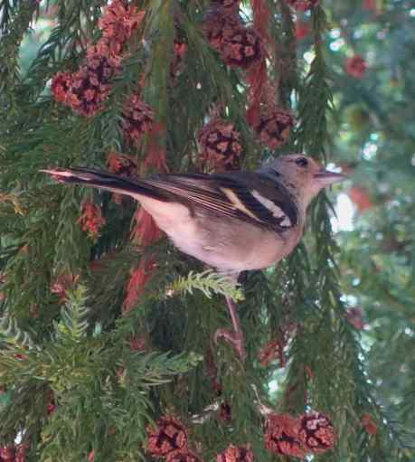 Chaffinch, photo taken in (Madeira) Portugal