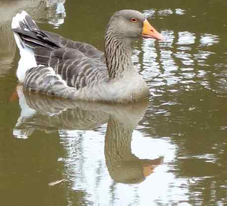 Greylag goose, photo taken in the Netherlands