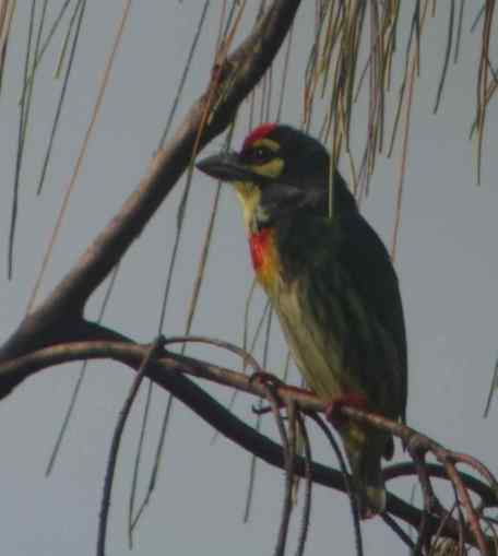 Coopersmith barbet, photo taken using birding scope, in Thailand