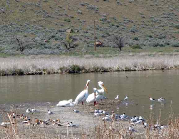 We took a walk toward Tule Lake and were surprised to see American white pelicans (center) flanked by American avocets (left) and Forster's terns (right).