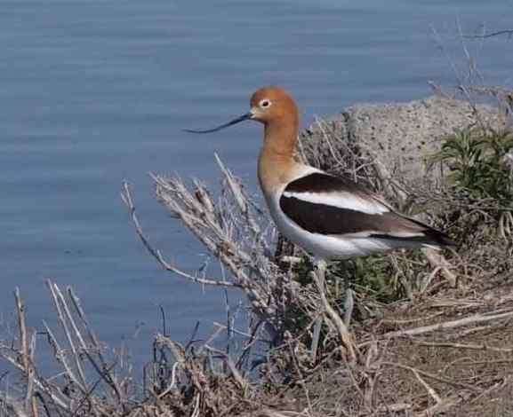 One of our favorite birds, the American Avocet