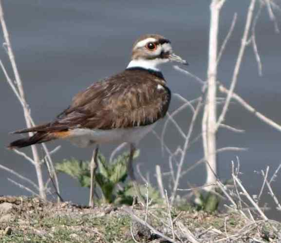 We took the self-driving route bordering the lakes and marshy areas. A killdeer stopped by the side of the road and glanced back at us.