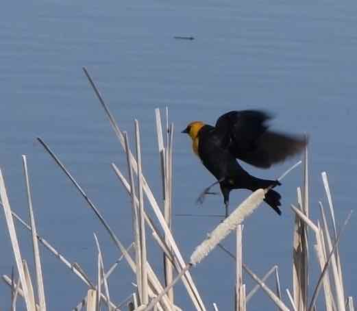When the sun dropped in the sky, we knew the time had come to move on, but what was that flash of yellow? A bird we'd not see before: a yellow-headed blackbird. Got the picture. Well-done!