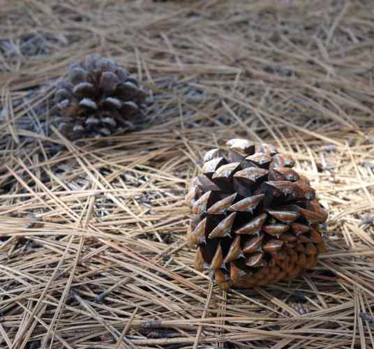 When was the last time we walked through a pine forest, tripped over pine cones, and smelled that wonderful scent?