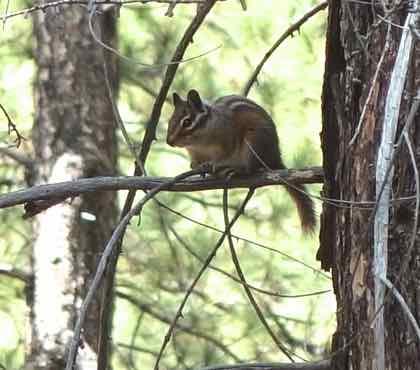 http://en.wikipedia.org/wiki/Golden-mantled_ground_squirrel