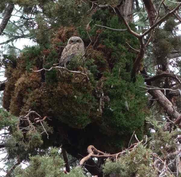 A great-horned owlet stared down at us bystanders.