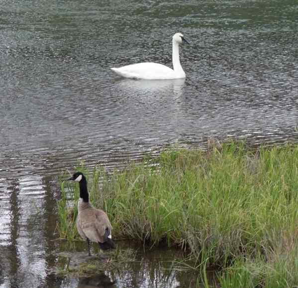 They faced off. Nothing happened for 5 minutes and then, with no warning, the swan lunged at the goose.