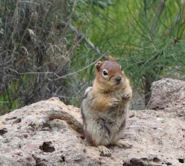 Is it a squirrel or chipmunk?