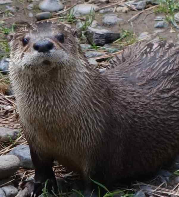 It was clear when we saw the river otter at the museum that this was not our first encounter with one.