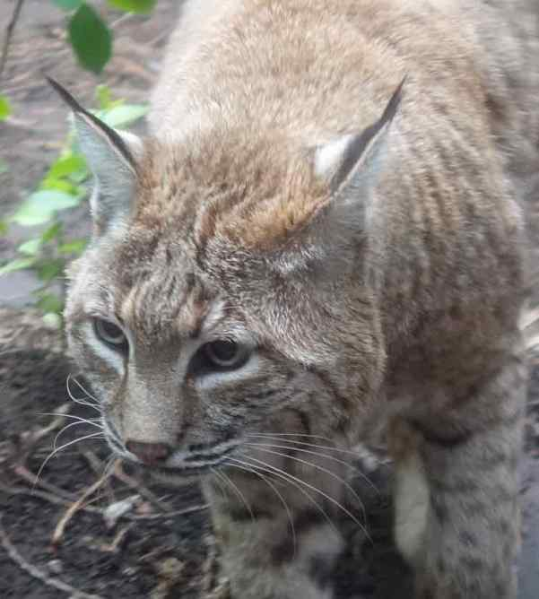 A bobcat, raised in captivity, now lives in the museum.