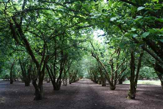 We walked through hazelnut groves at the Dorris Ranch Living Historical Farm.