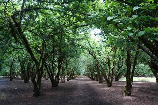 We walked through hazelnut groves at the Dorris Ranch Living Historical Farm.