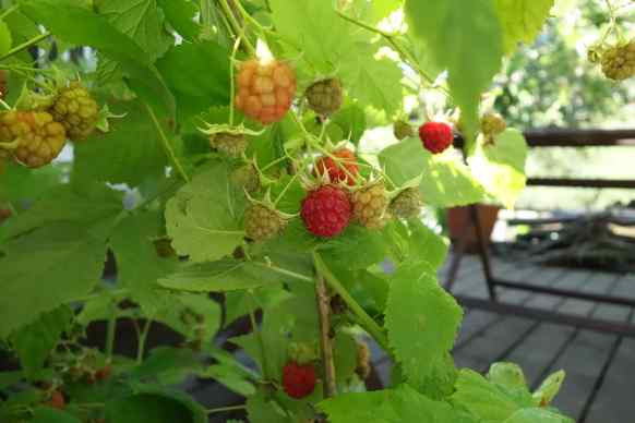 We went out to the garden after dinner and ate raspberries off the canes for our dessert. We ate at least three servings each of those deep red berries.