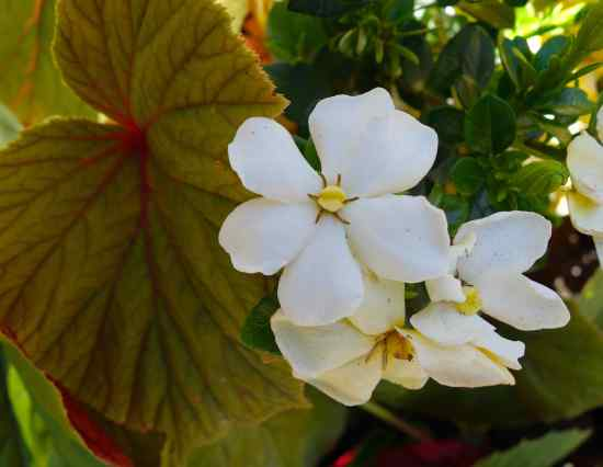 We'd not seen gardenias like this before, and their fragrance filled the courtyard.