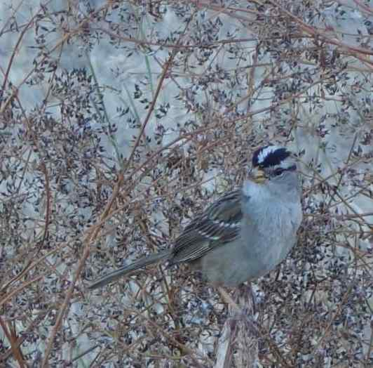 We'd never seen so many white-crowned sparrows in one place.
